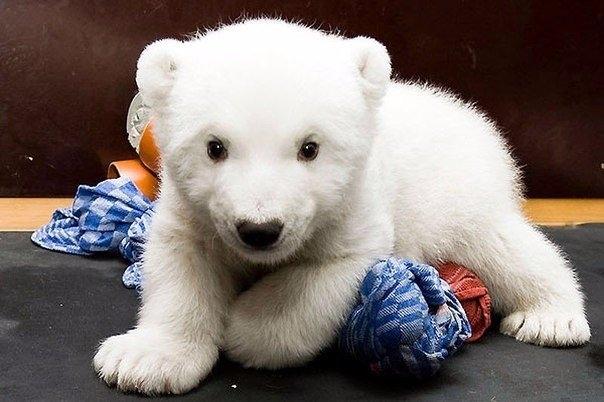 Маленькая белая медведица по имени Снежинка, Нюрнбергский зоопарк 2