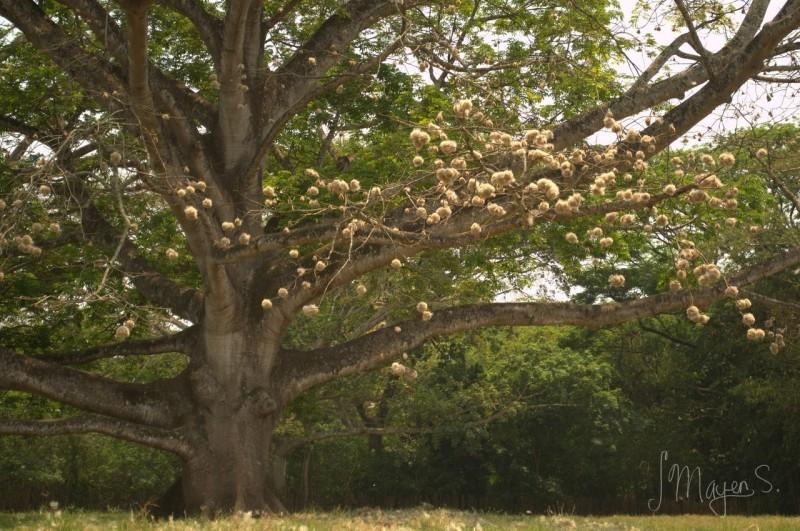 Хлопковое дерево 0