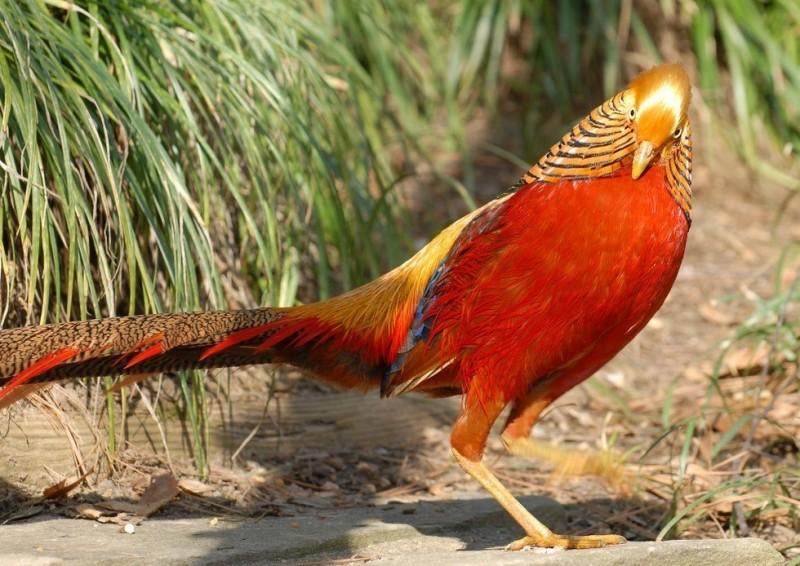 Золотой фазан: яркая и красочная птица из Китая 0