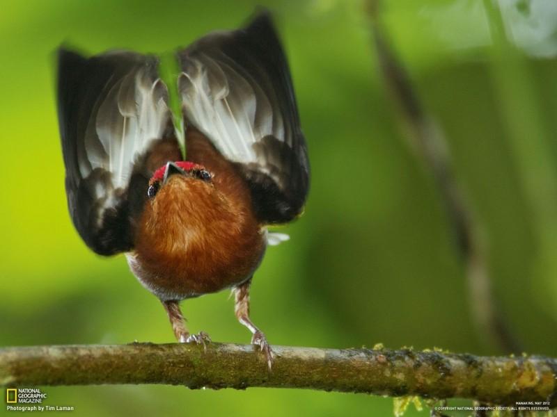Удивительная птичка Манакин 0