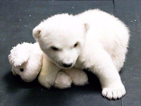 Маленькая белая медведица по имени Снежинка, Нюрнбергский зоопарк 0
