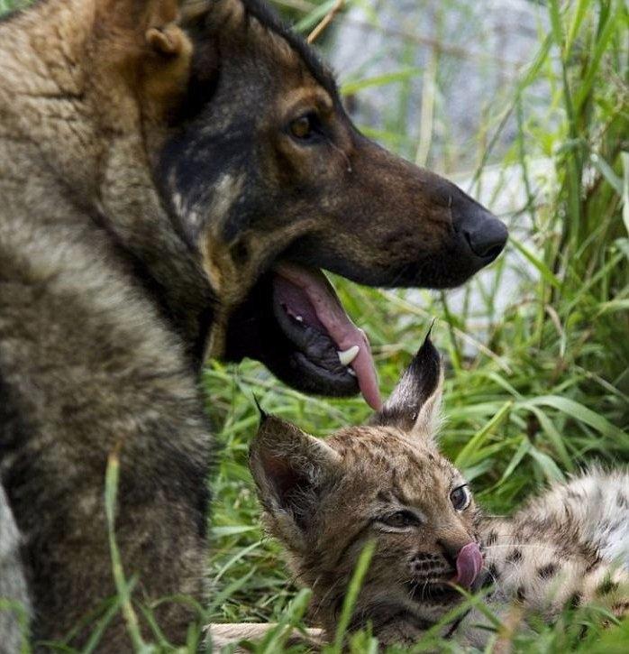 Необычные друзья – рысята и немецкая овчарка 0