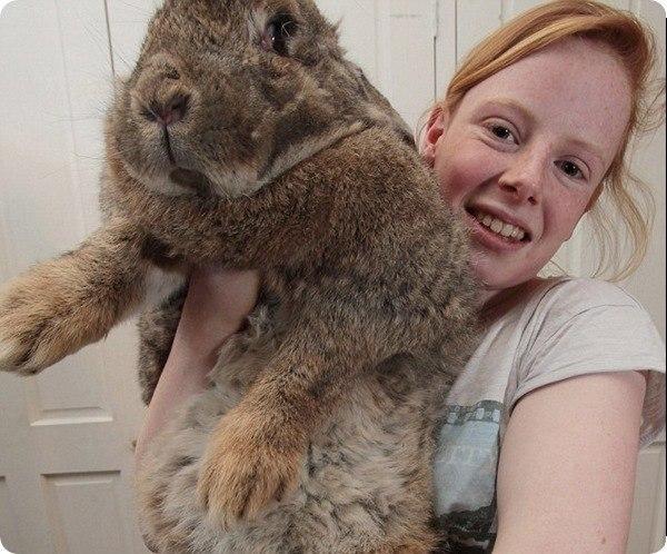 Ральф - самый большой кролик в мире 0