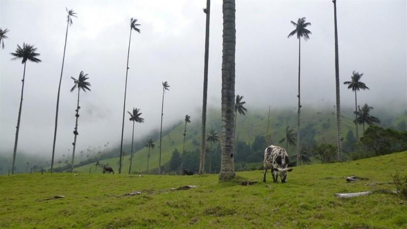 Долина самых высоких пальм на планете 0