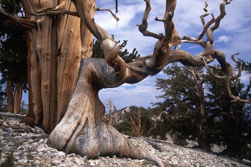 Бристлеконские сосны деревья, которых боится время (США)