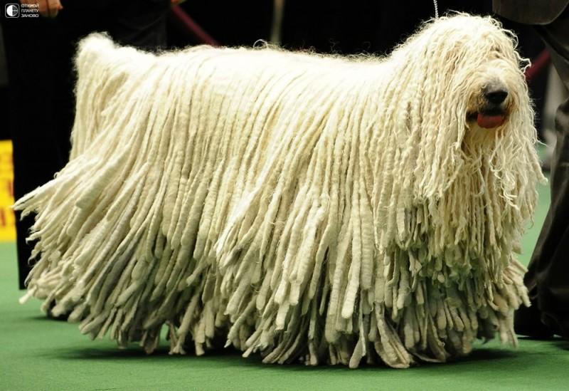 Комондор - собака с дредами 0