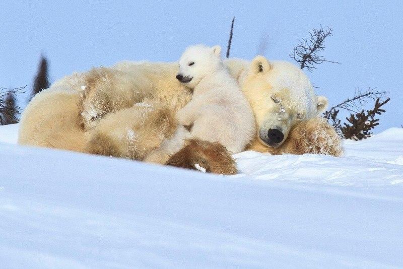 Вот так медведицы любят своих медвежат 5