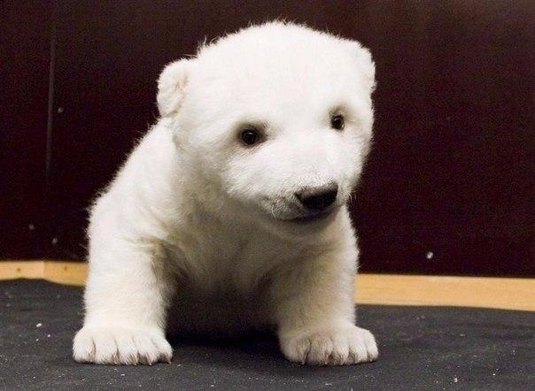 Маленькая белая медведица по имени Снежинка, Нюрнбергский зоопарк 7