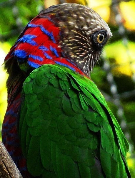 Веерный попугай 1