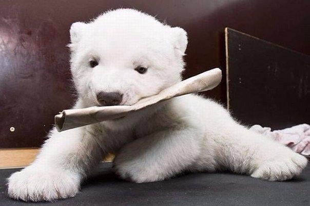 Маленькая белая медведица по имени Снежинка, Нюрнбергский зоопарк 4