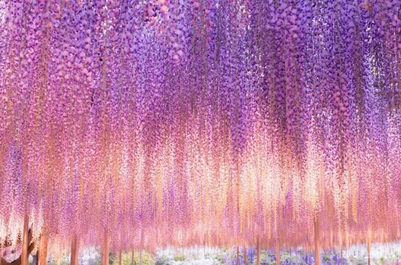 Крупнейшая 144-летняя глициния в национальном парке Асикага, Япония