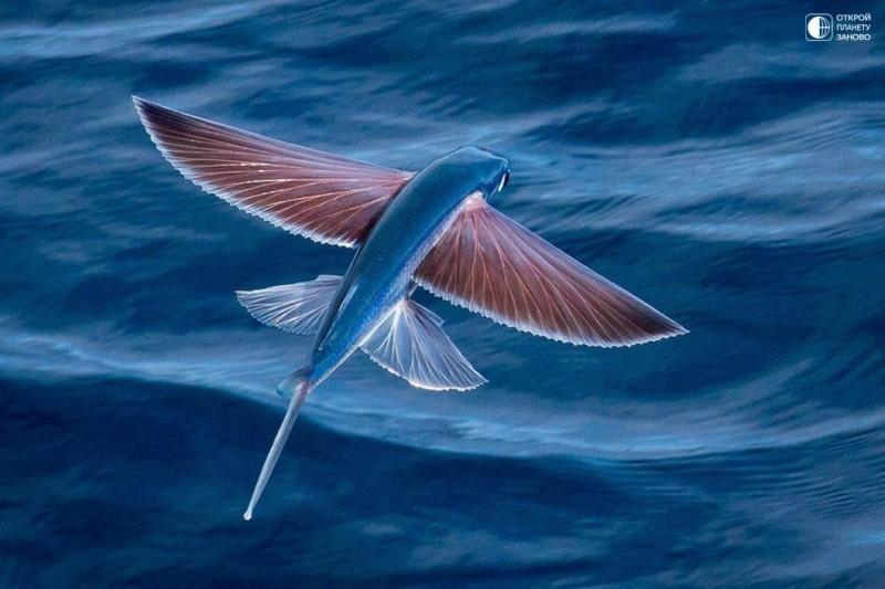 Летучие рыбы - символ Барбадоса 0