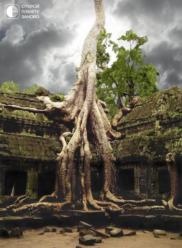 Хлопковое дерево 5