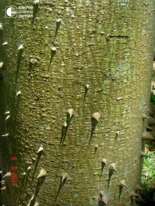 Хлопковое дерево 7