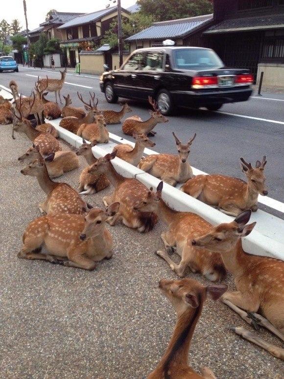 Это был спокойный японский городок, пока его не заполонили сотни оленей
