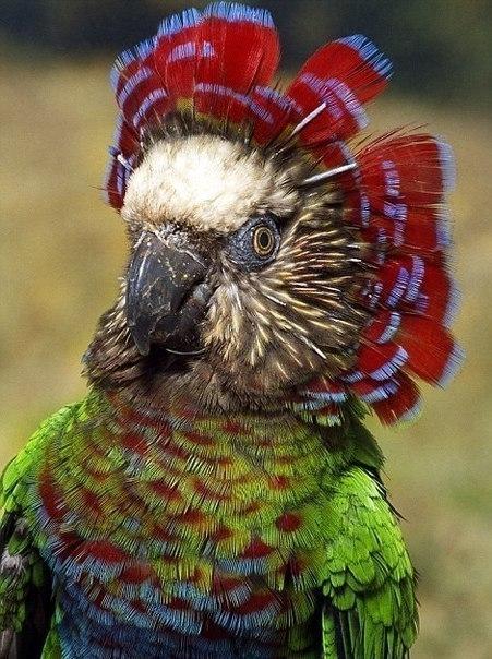 Веерный попугай 0