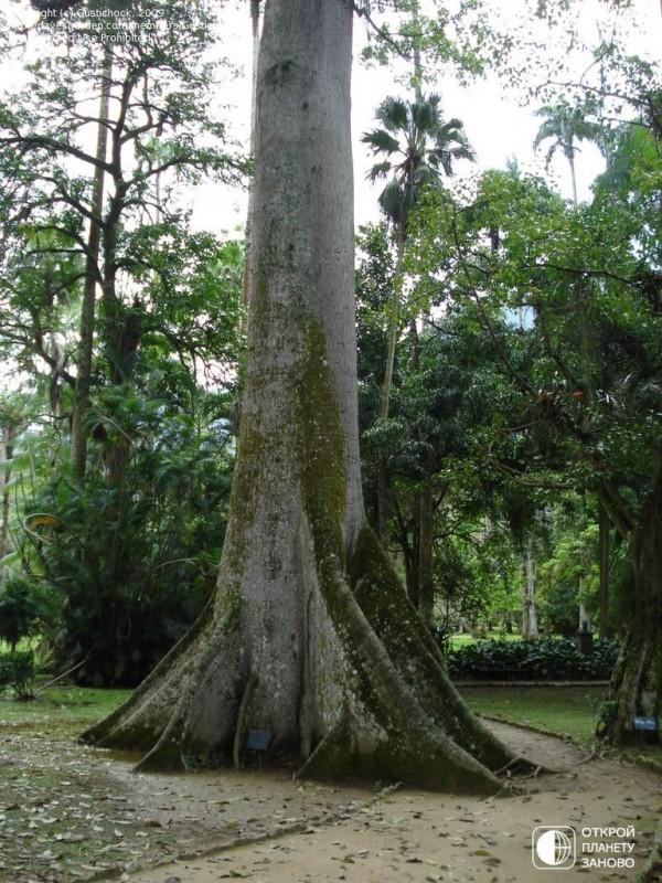 Хлопковое дерево 2